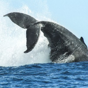 Cabo San Lucas Whale Watching. Book a tour for your next Los Cabos Vacation.
